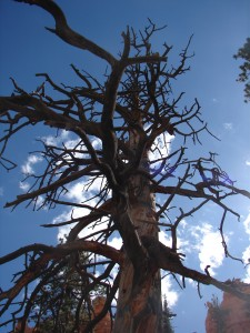 Bryce Canyon Scary Tree