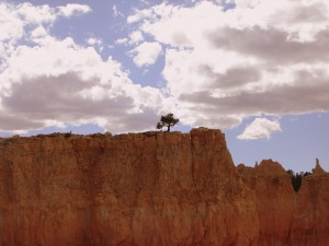 Bryce Canyon Wee Tree