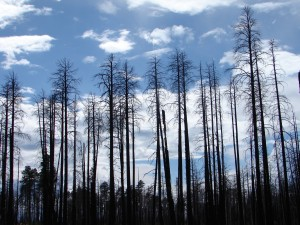 Grand Canyon Burned Forest