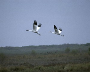 On an unrelated note, I saw whooping cranes for my birthday!