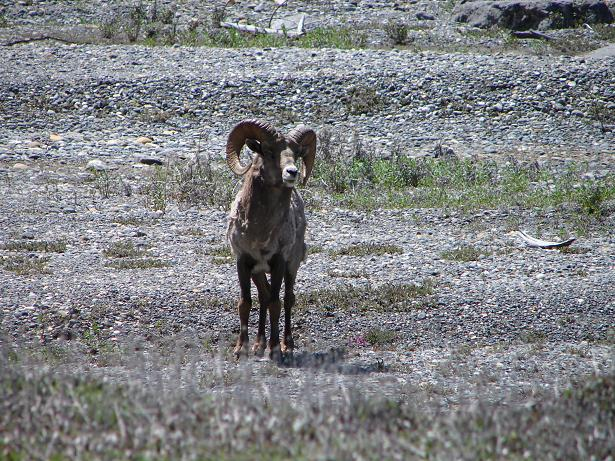 Big horn sheep smaller