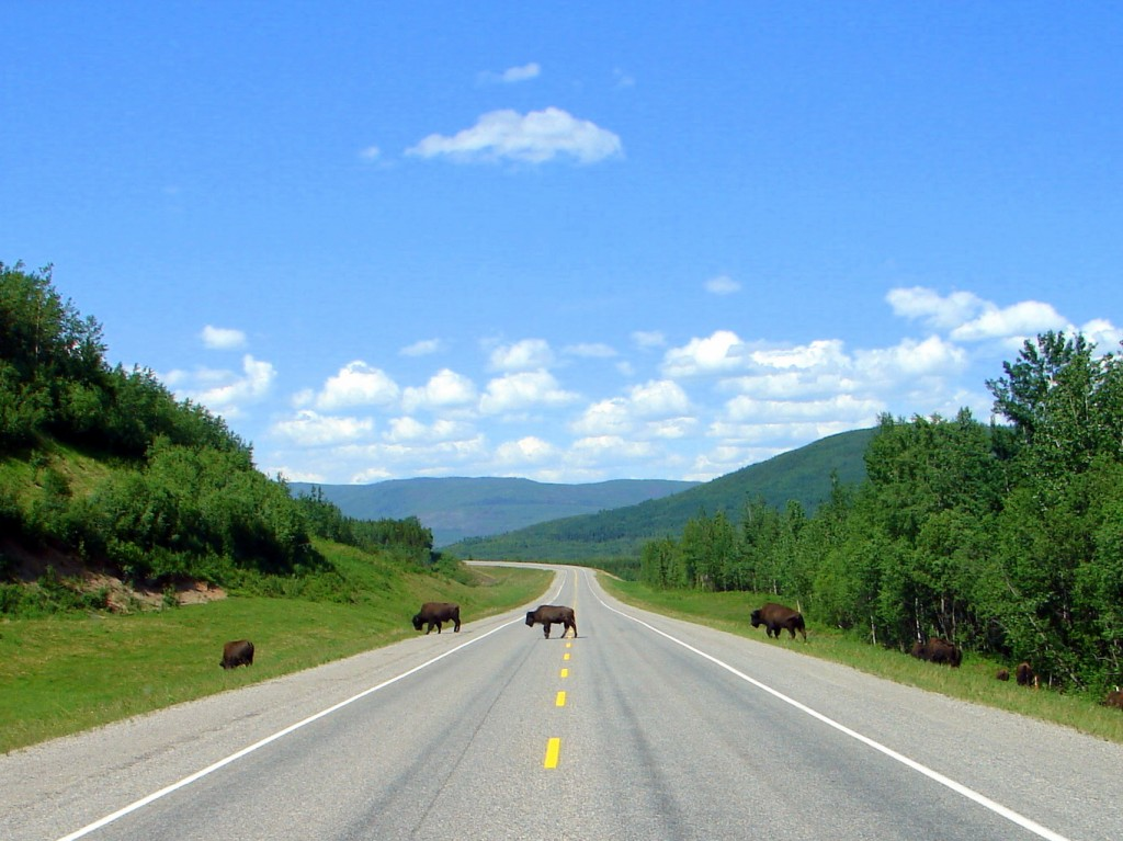 Fort Nelson to Liard Hot Springs watch for bison on road