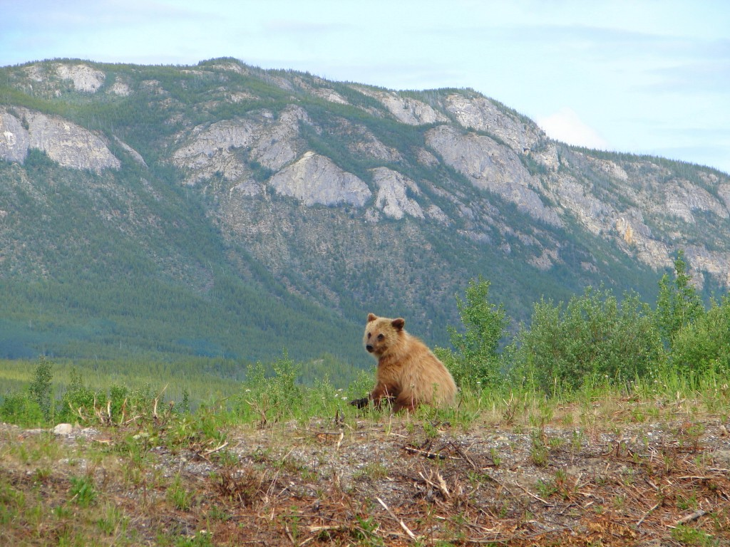 Grizzly bear and mountain sitting up