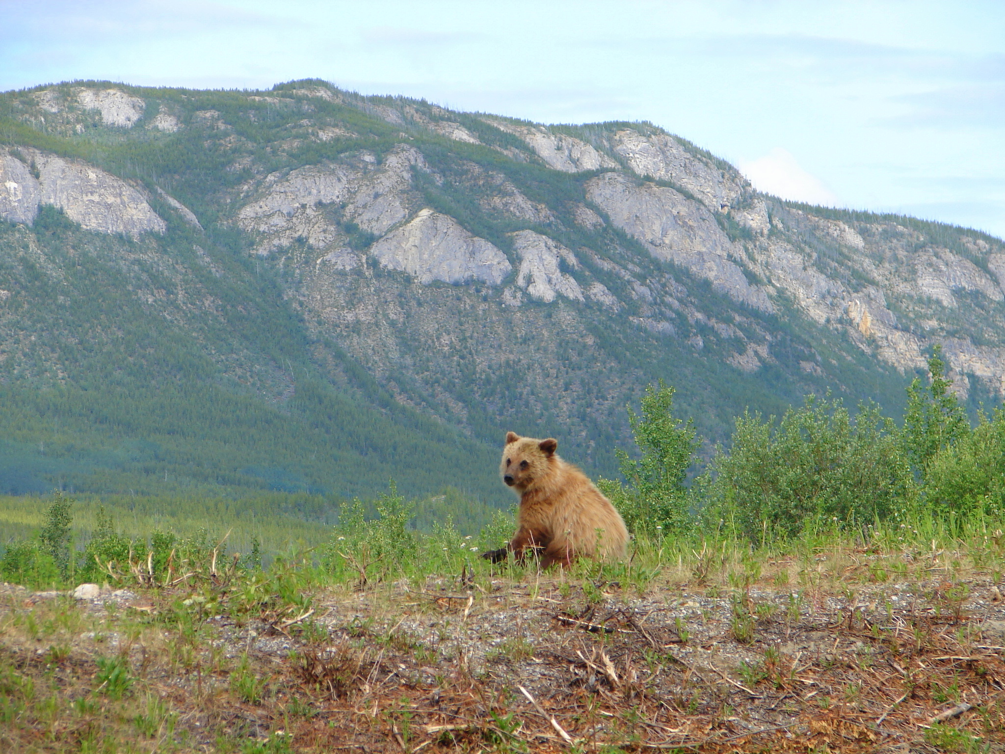 Grizzly bear sitting up - photo#21