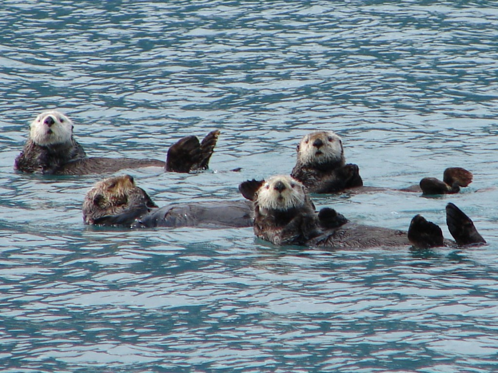 Curious sea otters in Prince William Sound