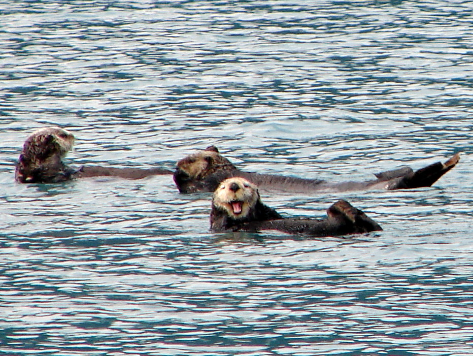 I could learn a lot from this old sea otter. (The old ones have white faces.)