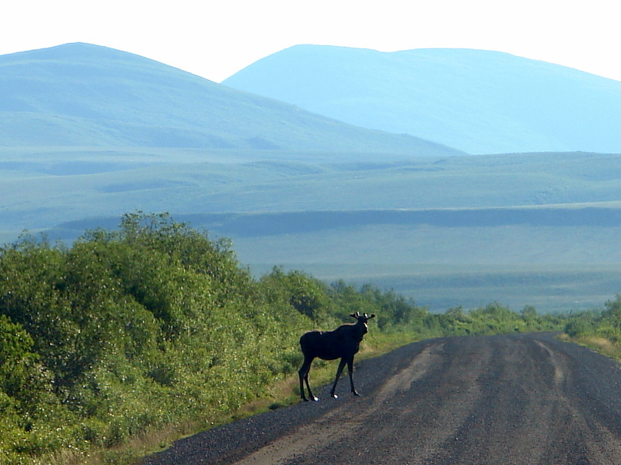 Moose on the Dempster Highway