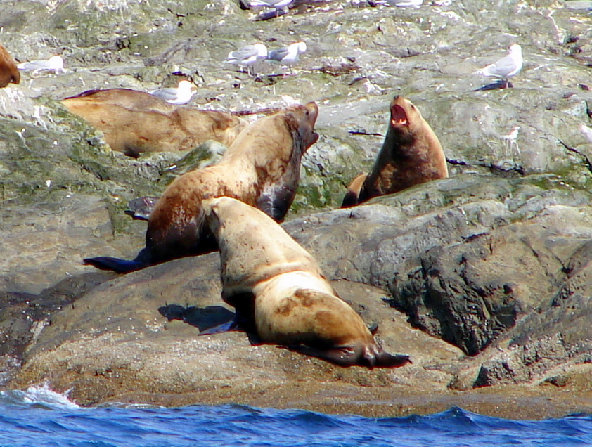 Sea lions talking in Prince Williams Sound