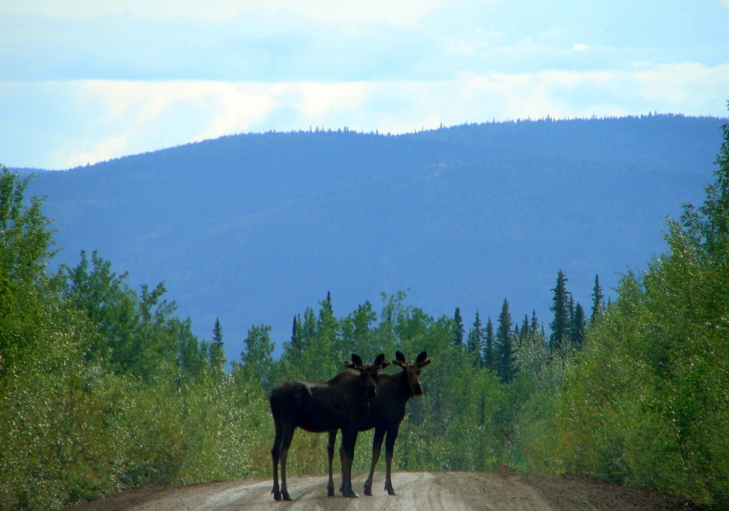 Two moose at the end of the Dempster